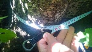 mierzenie obwodu drzewa na wysokości 5cm od korzenia