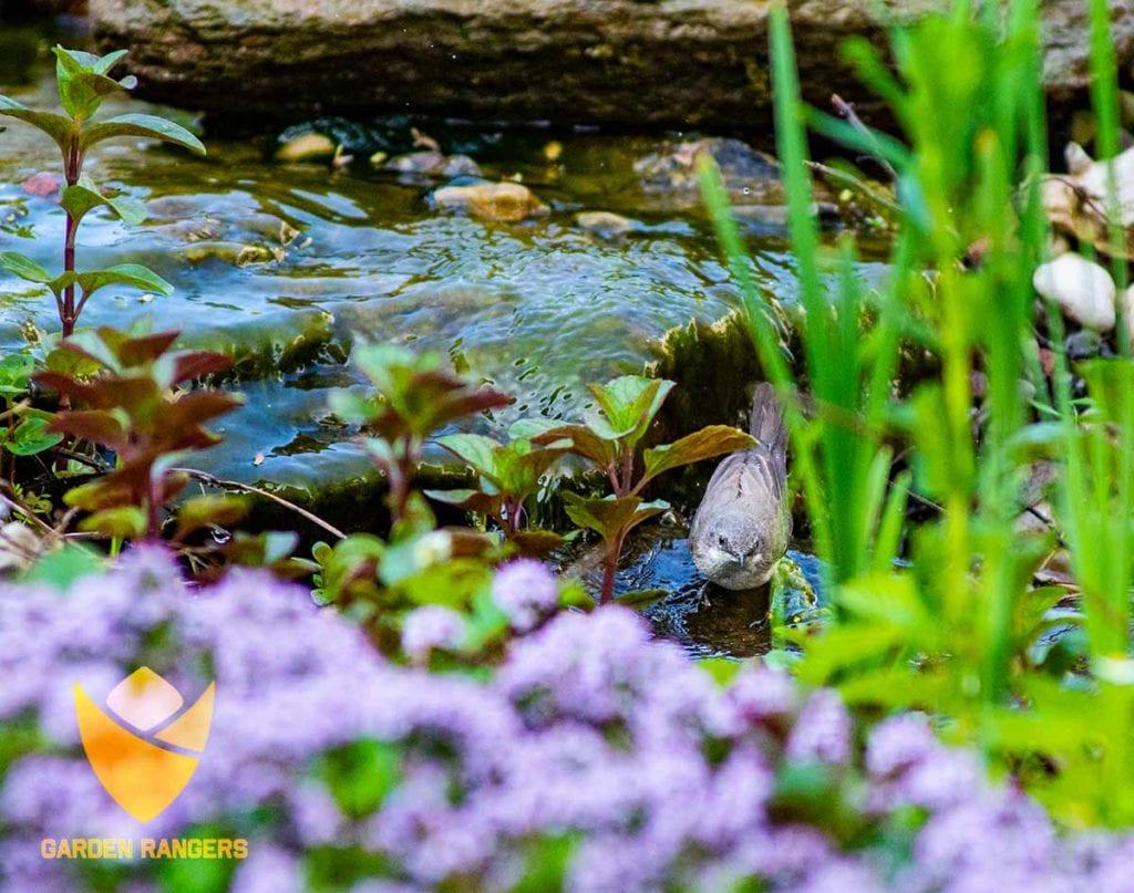strumienie i oczka wodne sa wodopojem dla ogrodowych ptakow
