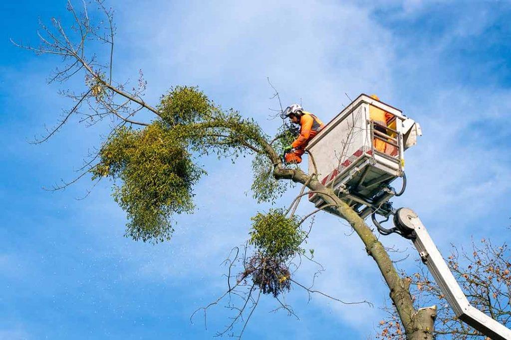 usuwanie drzew porazonych jemiola jemiola atakuje drzewa
