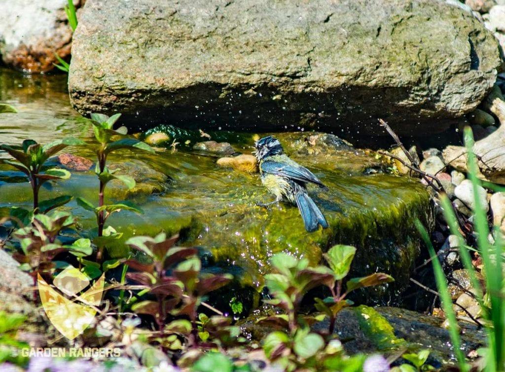 sikora modra kapie sie w ogrodowym strumieniu