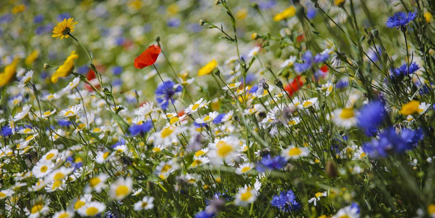 Kwiaty na łące kwietnej